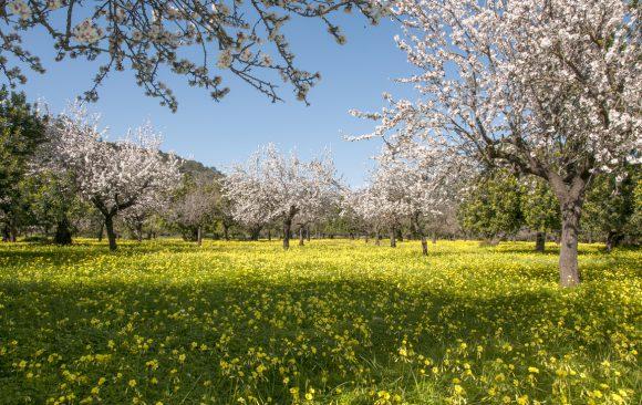 Mandelblütenzauber auf Mallorca